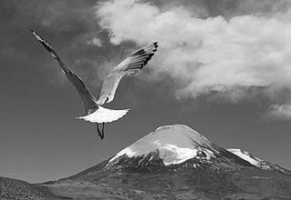 Mouette des Andes